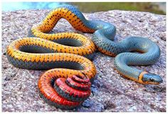 This is the regal ringneck snake (Diadophis punctatus regalis), a subspecies of ringneck snake endemic to the southwestern United States and northern Mexico.  Unlike other subspecies of ringneck snakes, the regal ringneck is almost exclusively ophiophagous, meaning that it has a diet that consists almost entirely of other snakes.  They have a weak venom that serves to immobilize their small prey, but is harmless to humans.