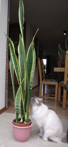 Our cat Daisey is investigating a large Sansevieria