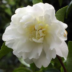Considered one of the most popular of the fall blooming camellia varieties, Camellia sasanqua 'Mine-No-Yuki' (White Doves) is absolutely splendid. It bears elegant, snow-white double blooms, up to 3 in. wide (7 cm), with orange anthers and golden filaments scattered among the petals.