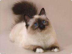 chat sacre de birmanie seal point yeux bleus Plus