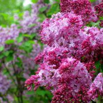 as 25 melhores ideias de purple flowering bush no pinterest plantas roxas bush e flores para. Black Bedroom Furniture Sets. Home Design Ideas