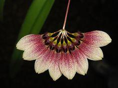 Bulbophyllum flabellum veneris