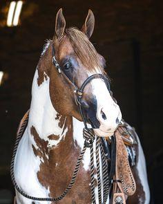 Barrel Racing Saddles, Barrel Racing Horses, Horse Halters, Horse Saddles, Pretty Horses, Beautiful Horses, Western Pleasure Horses, American Paint Horse, Horse Show Clothes