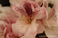 Rhododendron 'Prinses Máxima' flowers in mid-May, its flowers are both distinctive and unusual.