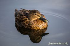 Mallard duck sitting on the lake at Seton Park. You can buy this image & see my other wildlife images by clicking on the thumbnail.
