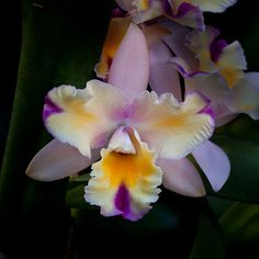 Orchid x Brassolaeliocattleya grex Momilani 'Rainbow'