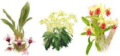ilustracion botanica orquideas - Buscar con Google