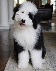 55 Best sheepadoodle and other mixed new breeds images