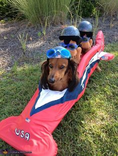 USA American Doxie Bobsled Team going for a doxie win. Kim: This is Larry my dachshund. His costume is made from chair cushin cut out into the right shape and covered with red material. I painted the design and bought the. Dachshund Funny, Dachshund Love, Funny Dogs, Funny Animals, Cute Animals, Daschund, Team Halloween Costumes, Pet Costumes, Weenie Dogs