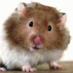 Teddy bear hamster--I had two of these when I was a girl Bear Hamster, Hamster Toys, Stuart Little, Short Eared Owl, Cute Hamsters, Mundo Animal, Beautiful Creatures, Mammals, Cute Animals