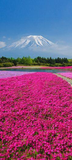 Fuji Shibazakura, Japón. La inmensa belleza de este país es tan delicada como magnífica...