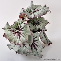 Houseplants That Filter the Air We Breathe Begonia Flowering House Plants, Garden Plants, Indoor Plants, Planting Succulents, Planting Flowers, Gothic Flowers, Plants Delivered, Beautiful Flowers Garden, Foliage Plants