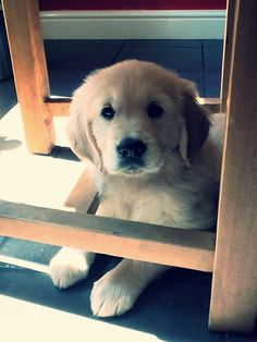 I'm under the chair hiding, nope I didn't chew up anything :)