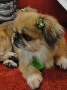little boy Jerry ♥.  He's an androgynous Peke.