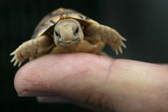 Egyptian Tortoise - Time: PHOTOS: The 15 Cutest Endangered Animals in the World