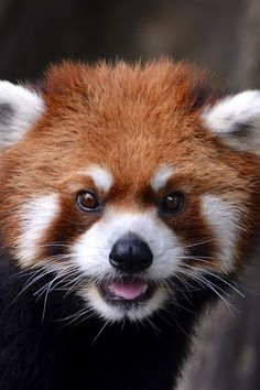 photographies du monde animal comme vous ne l'avez jamais vu Red pandas are probably one of the cutest animals ever! :)Red pandas are probably one of the cutest animals ever! Cute Creatures, Beautiful Creatures, Animals Beautiful, Cute Baby Animals, Animals And Pets, Photo Panda, Red Panda Cute, Panda Wallpapers, Animal Facts