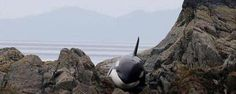 stranded Orca saved. Faith In Humanity Restored Archives - Dump A Day
