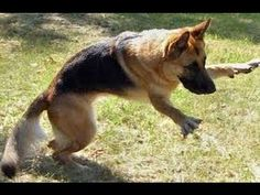 King Shepherd, Belgian Shepherd, German Shepherd Dogs, German Shepherds, Dog Suit, Schaefer, Stop Animal Cruelty, Dog Rules, Training Your Dog