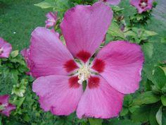 Ibisco rosa