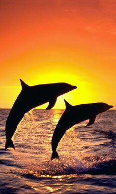 Someday my hope is to see dolphins in the wild!