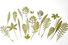 Green Leaves, Autumn Leaves, Plant Leaves, Pressed Leaves, Card Making Supplies, Dry Leaf, Ranunculus, Decor Crafts, Dried Flowers