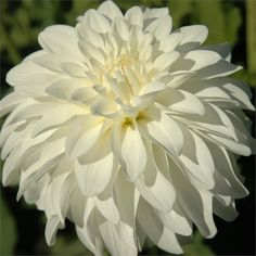 """LADY LIBERTY (BFD) Introduced in 2003. An excellent exhibition flower, 6"""" blooms are pristine white with petals that fold all the way back t..."""