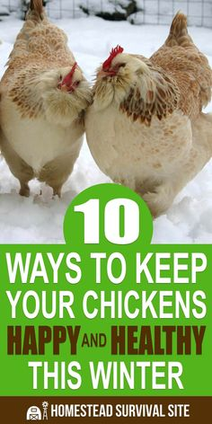 10 Ways To Keep Your Chickens Happy And Healthy This Winter Chickens require some special care in the winter, and making sure they are happy is worth it. They will reward you with year-round egg production. Raising Backyard Chickens, Backyard Chicken Coops, Chicken Coop Plans, Keeping Chickens, Building A Chicken Coop, Diy Chicken Coop, Pet Chickens, Chicken Barn, Chicken Coup