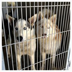 Sandy and Zara are about 2 years old and they are very sweet and bonded female Huskies looking for their forever family. Contact the San Bernadino City Shelter at 909-384-1304 for more info.