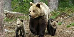 You have a possibility to go and watch wild bears in Kainuu.