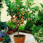 Aprenda a cultivar árvores frutíferas em vasos   Blog Jardinices