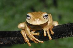 Plectrohyla exquisita. Photo: Jonathan Kolby.Honduras Amphibian Rescue and Conservation Center (HARCC) | Amphibians.org