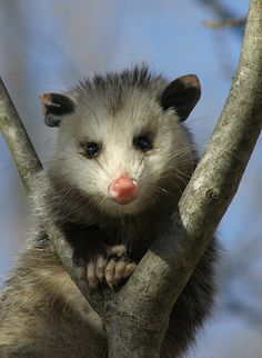 Possum as a totem can teach us that sometimes it is better to hide our strengths and not to fight, but to divert attention and stay out of the conflict. Possum people are often underestimated, but in truth are alive with hidden depths and talents.
