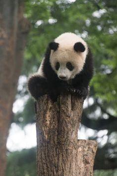 今日のパンダ(2160日目) | 毎日パンダ Panda Love, Red Panda, Cute Panda, Super Cute Animals, Adorable Animals, Animals Beautiful, Panda Bears, Siblings, Squirrel