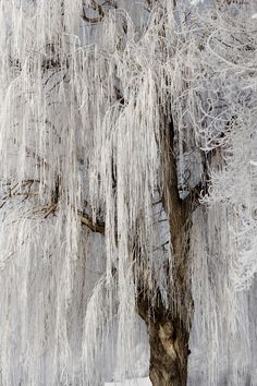 **Frosted weeping willow tree.