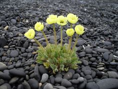 Arctic Poppy - Papaver radicatum - Melasól. South-east Iceland | by martin green 1