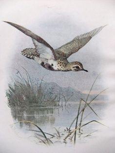 Golden Plover - Antique Bird Print - Vintage Bird Illustration - Bird Print from Swaysland, Familiar Wild Birds - by A. Thorburn £6.50