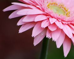 Huge fat gerbera daisies would fill vases all around the house.