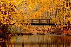 Beautiful golden leaves of Fall