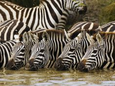Plains Zebra, Serengeti National Park, Shinyanga, Tanzania Photographic Print by Ariadne Van Zandbergen - at AllPosters.com.au