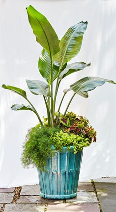 Tropical plants are known for their bright colors, unique textures, and large-scale statements. Add tall plants with jumbo leaves and transform your outdoor space into… Container Herb Garden, Container Gardening Vegetables, Container Flowers, Container Plants, Garden Pots, Succulent Containers, Vegetable Gardening, Succulents, Tall Potted Plants