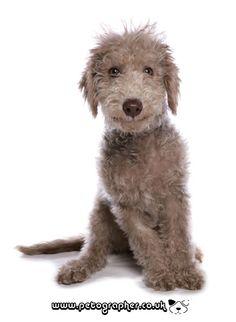 bedlington terrier puppy dog studio portrait | Flickr - Photo Sharing!