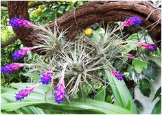 Cultura Guaraní: Leyenda Clavel del aire Tropical House Plants, Tropical Flowers, Shade Plants, Air Plants, Air Plant Display, Beautiful Flowers Garden, Hanging Pots, Begonia, Bonsai