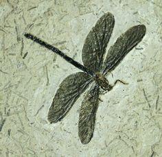 Dragonfly Fossil: Cordulagomphus fenestratus