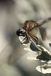 by Tweezie Duncan #Dragonfly #nature #safarious