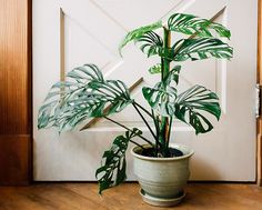 Every so often, a plant comes along that totally pushes the boundaries of what we thought possible for the species. This Monstera obliqua is one of those specimens! Rare Plants, Exotic Plants, Tropical Plants, Potted Plants, Indoor Plants, Monstera Deliciosa, Monstera Obliqua, Cactus, All About Plants