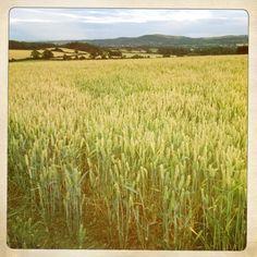 Fields of corn in Shropshire