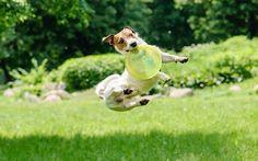 Tutto pronto per il primo raduno regionale Jack Russell Terrier Piemonte Domenica 5 giugno, presso il centro sportivo ADS Sport Village di Carbonara Scrivia (AL), si svolgerà il primo raduno regionale Jack Russell Terrier Piemonte! Nel corso della manifestazione, che si  #jackrussellterrier #cani #eventi