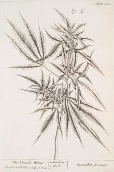 The female hemp. From New York Public Library Digital Collections.