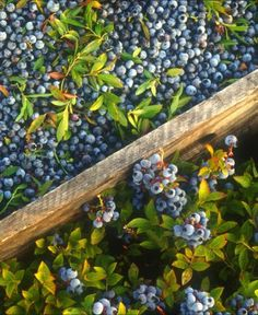 Study after study has demonstrated that blueberries, especially wild blueberries, are delivering a very healthy dose of antioxidants that simply cannot be ignored. Benefits Of Berries, Blueberry Compote, Blueberry Wine, Flavored Milk, Wild Blueberries, American Food, Non Alcoholic Drinks, Grocery Store, Health And Wellness