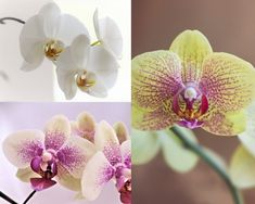 There is only one correct way to water an orchid! Find out How to water your orchids and you'll have your orchid for years to come. Container Gardening Vegetables, Succulents In Containers, Container Flowers, Container Plants, Vegetable Gardening, Gardening Tips, Orchids In Water, Indoor Orchids, Orchids Garden